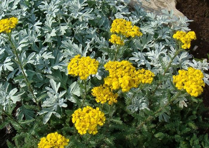 Растение полынь: описание основных декоративных видов, особенности посадки и ухода