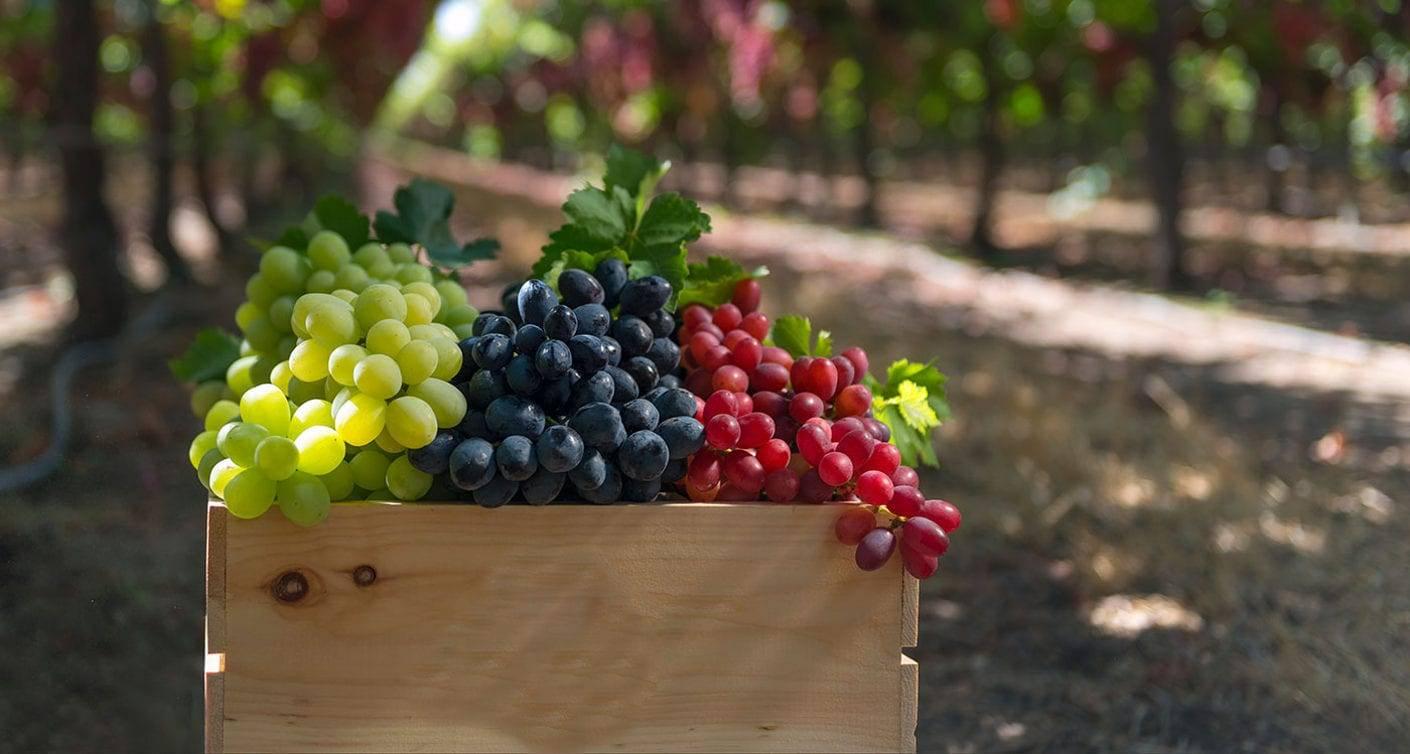 Почему виноград кишмиш без косточек и чем опасна солнечная ягода - новости на kp.ua