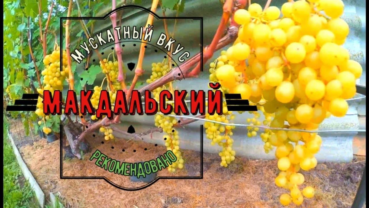 Мускатные сорта столового винограда: какой лучше, описание, фото