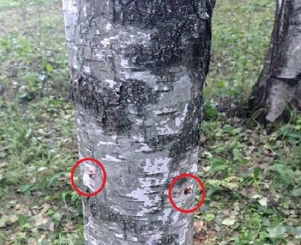 Как быстро высушить спилы дерева?