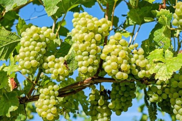 """Виноград """"восторг"""": описание сорта, фото, подробная характеристика и вредители selo.guru — интернет портал о сельском хозяйстве"""
