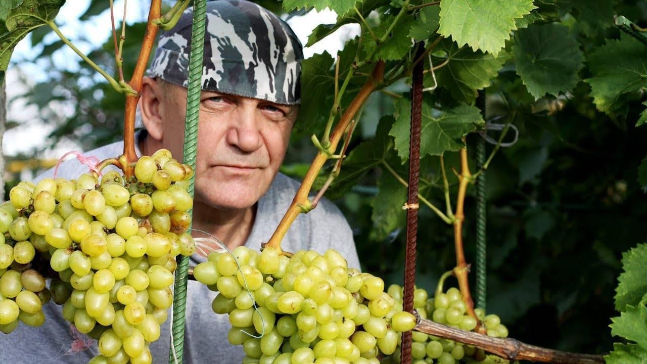 Обрезка винограда летом и осенью - рекомендации для начинающих