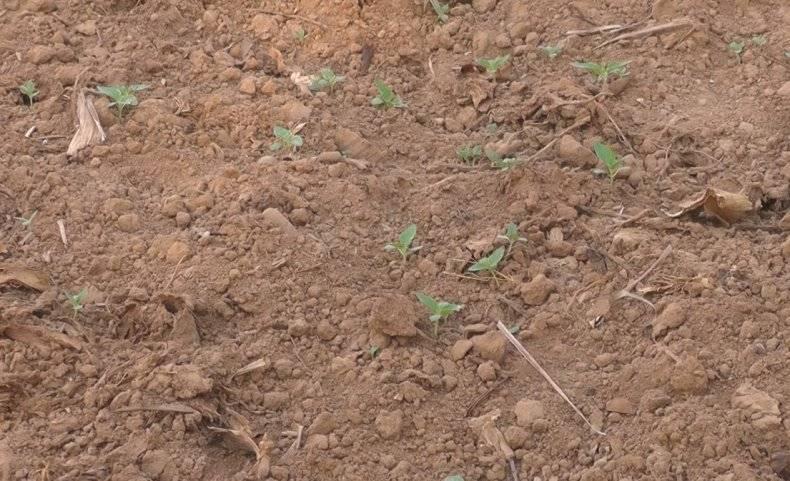 Как и где растет кунжут фото, способы выращивания сезама на даче
