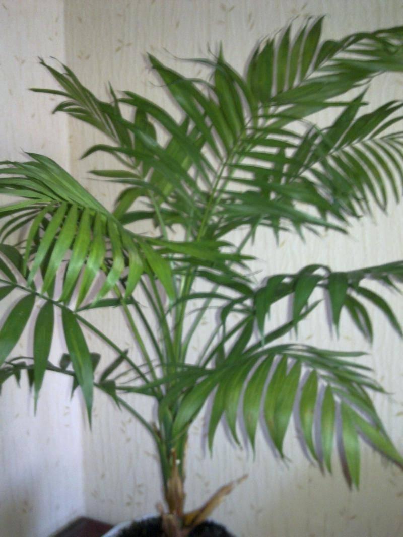 Комнатное растение похожее на пальму – фото, название и виды домашних цветов