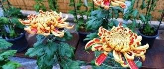 Однолетняя и корейская хризантема: выращивание их из семян в домашних условиях, посадка и уход