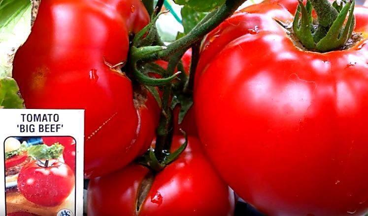 Голландский богатырь на российских просторах — томат биг биф f1. детальное описание и обзор характеристик помидора с фотографиями