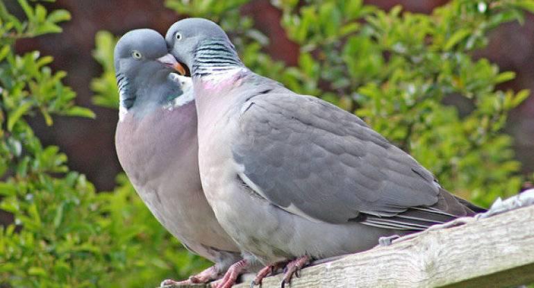 Как отличить голубя от голубки: по строению тела, окрасу, голосу, характеру, различиях в повадках голубей во время брачного периода — определение пола голубей народными методоми