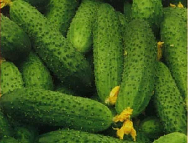 Салатные огурцы для теплиц сорта