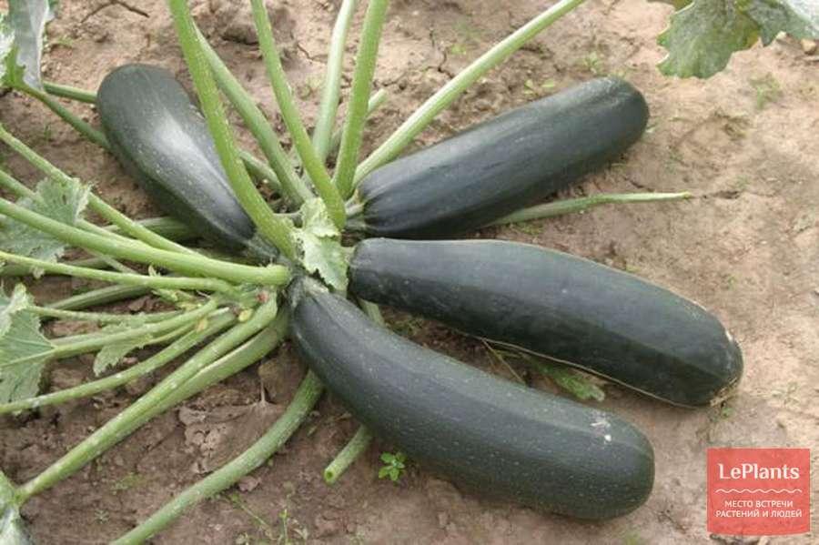 Как растут кабачки в тени: при какой температуре и рядом с чем? фото