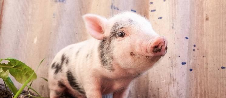 К чему может сниться свинья