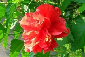 Каким должен быть уход за китайской розой в домашних условиях или в открытом грунте? особенности гибискуса