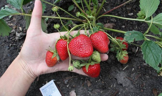 Как ухаживать за ремонтантной клубникой и правильно выбрать семена сорта: полив, обрезка, размножение
