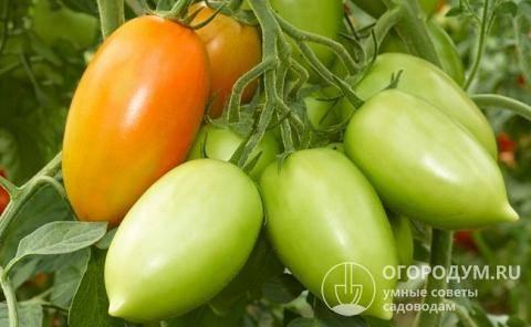 Томат перцевидный: разновидности, характеристика и описание сортов, урожайность с фото