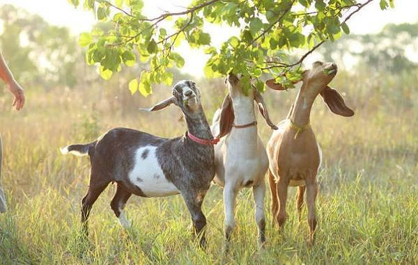 Англо-нубийские козы: подробное описание породы, особенности разведения и содержания