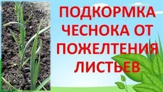 Чем подкормить чеснок весной, если желтеет