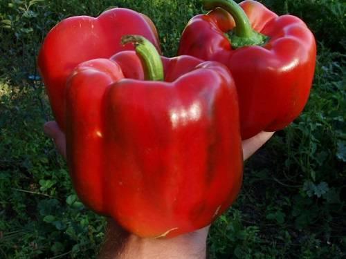 Перец геркулес f1: характеристика и описание гибрида, выращивание и уход