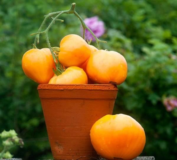 Томат чибис: характеристика и описание сорта, урожайность отзывы фото