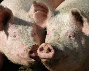 Основы гибридизации свиней   cельхозпортал