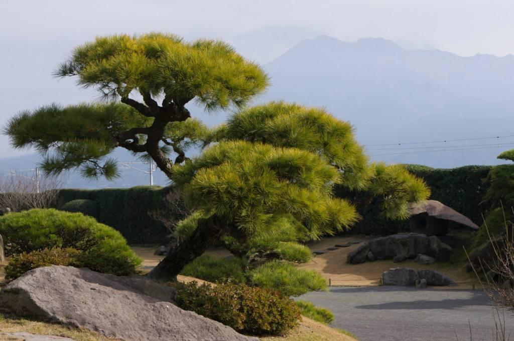 ✅ как обрезать и формировать горную сосну в саду, для густой кроны, фото - tehnoyug.com