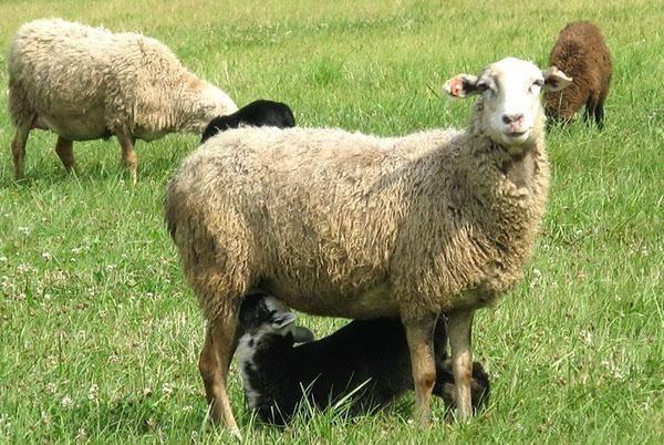 Разведение овец: в домашних условиях, для начинающих, на мясо