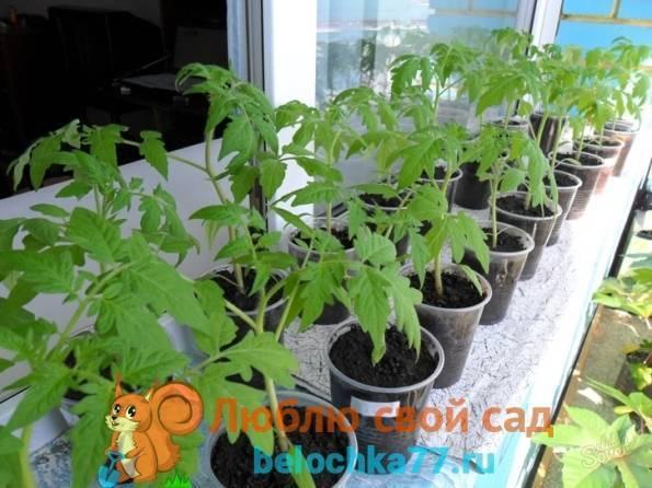 Посев томатов на рассаду в 2021 году в сибири по лунному календарю