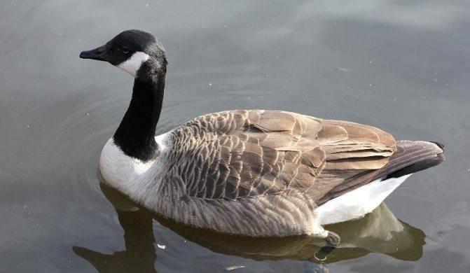 Казарка птица. описание, особенности, виды, образ жизни и среда обитания казарки