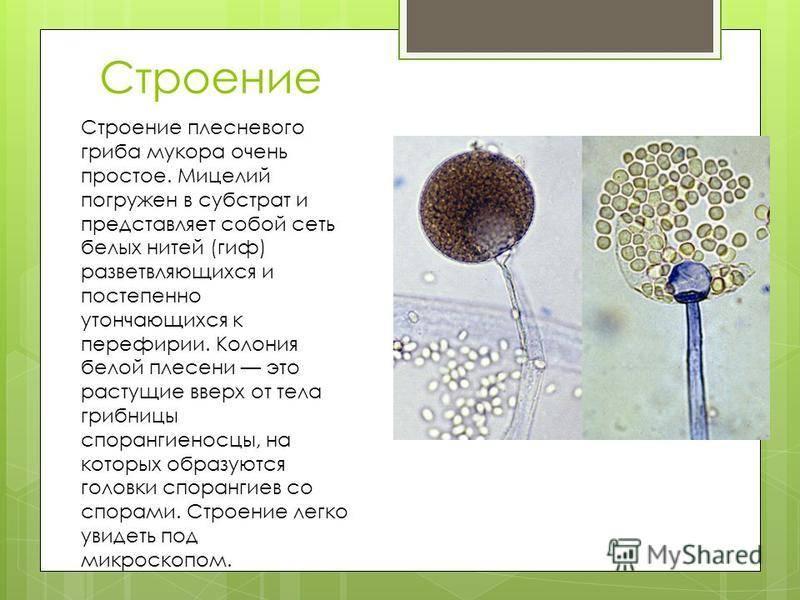 Гриб мукор: особенности строения и жизнедеятельности :: syl.ru