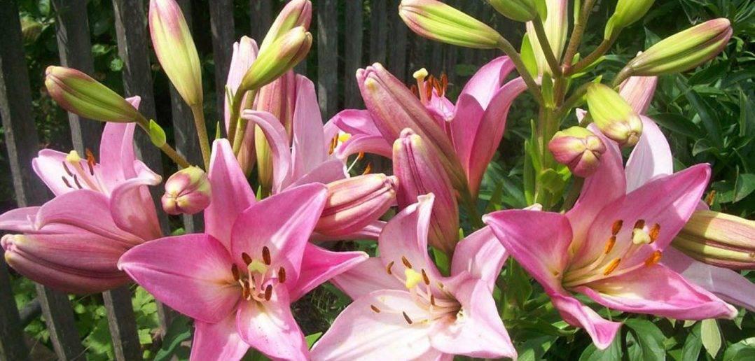 Когда и как пересадить лилии после цветения на другое место: пошаговая инструкция с видео