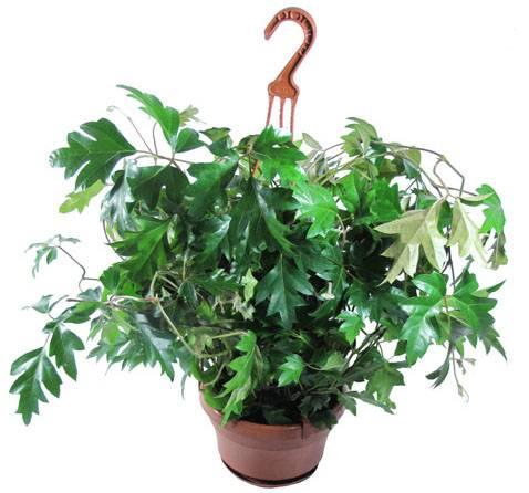 """""""циссус"""": уход в домашних условиях, фото, размножение растения selo.guru — интернет портал о сельском хозяйстве"""