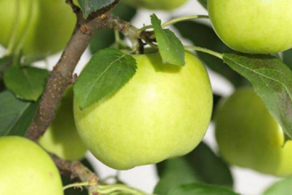 Карликовые яблони. лучшие сорта и их описание