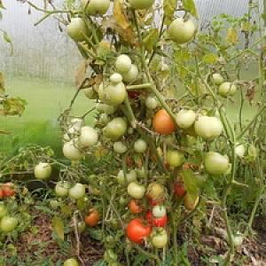 Каменный цветок: полное описание и рекомендации по выращиванию томата
