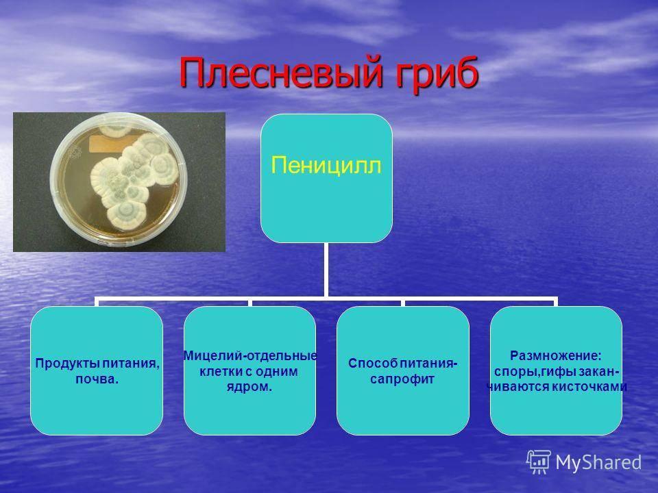 Что из себя представляет гриб пеницилл: характеристика