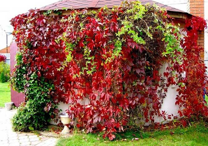 Девичий виноград: 95 фото декоративного виноградника и советы как вырастить его своими руками