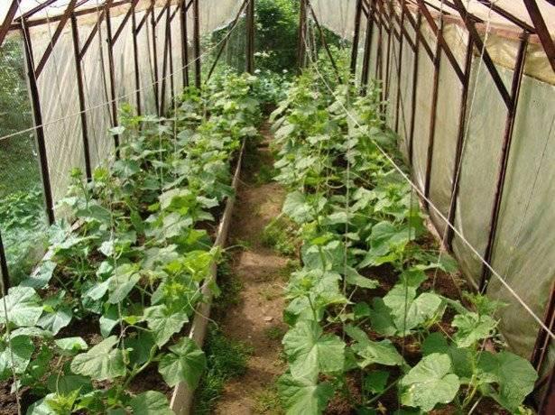 Выращивание огурцов в теплице зимой > видео + фото + способы и условия