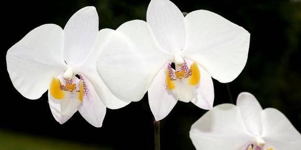 Расцветки фаленопсисов