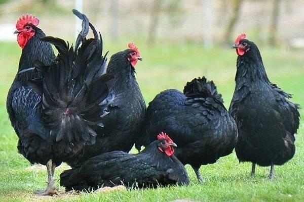 Австралорп порода кур – описание, содержание, фото и видео
