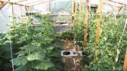 Что сажают в теплице вместе с помидорами | огородовед