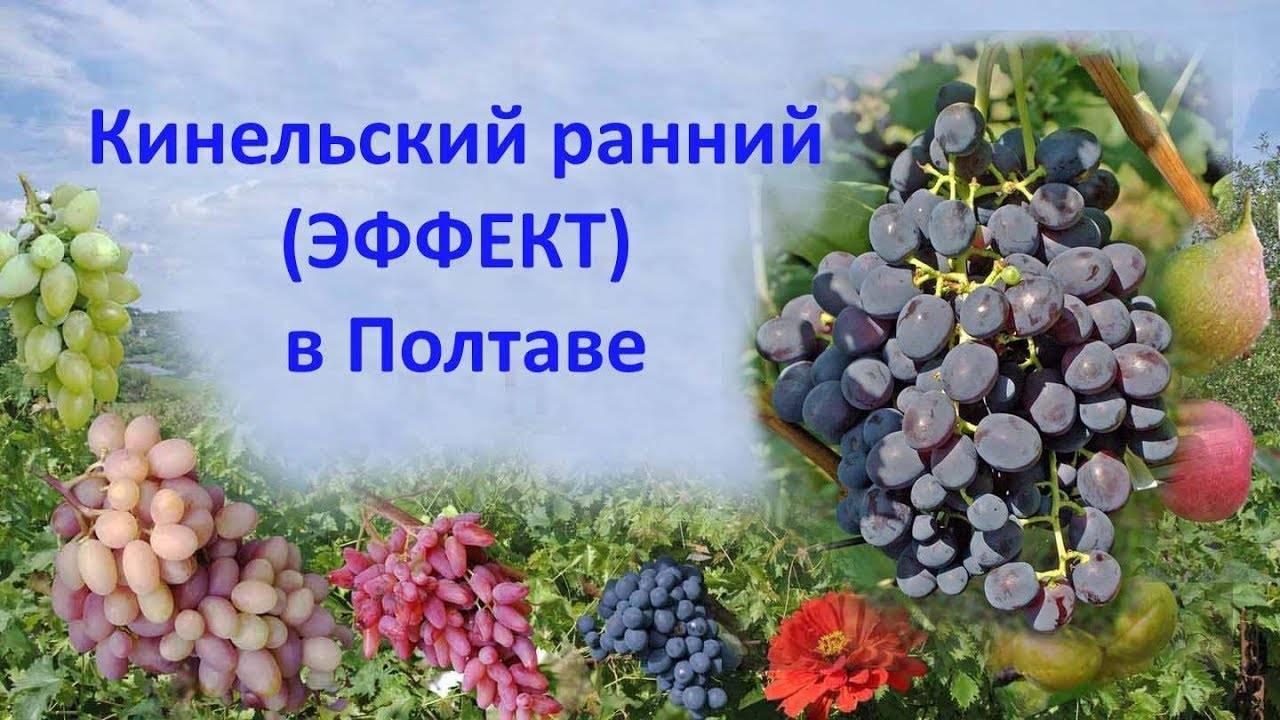 Выращивание кинельского винограда - агрономы