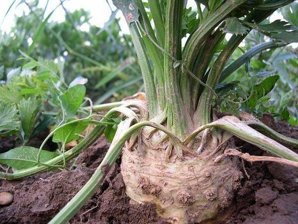 Выращивание корневого сельдерея: советы и секреты урожая