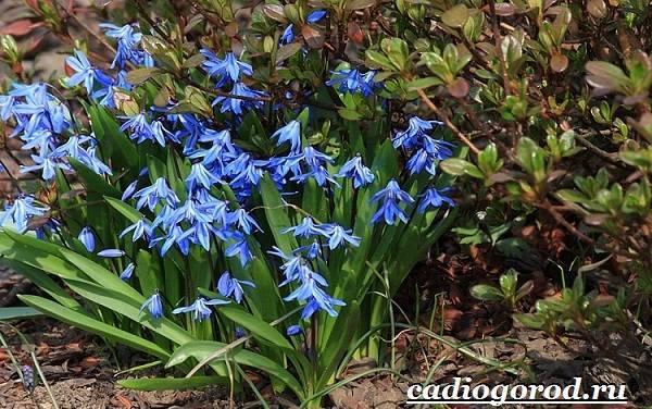 Пролеска, сцилла - фото цветка, описание, посадка и уход, размножение