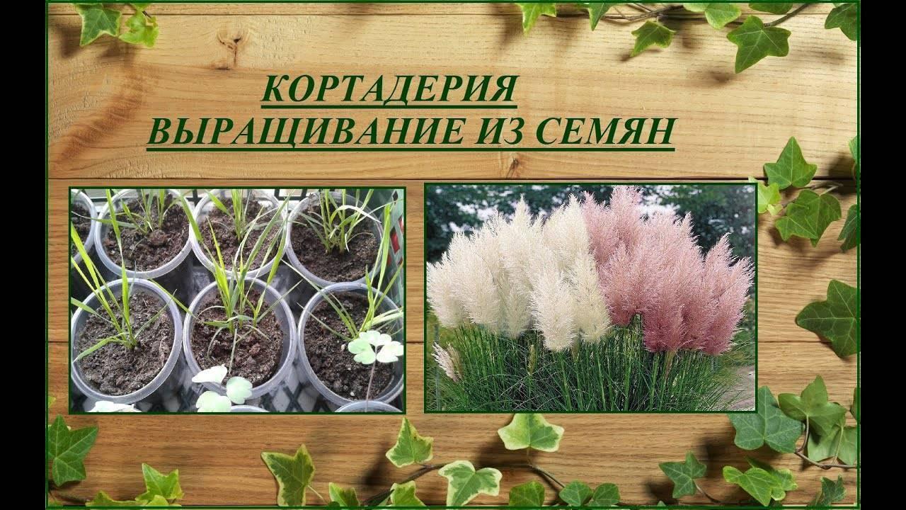 Как посеять пампасную траву