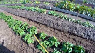 Перец. окучивать или не окучивать?: группа органическое земледелие