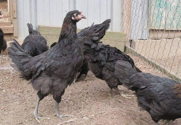 Курица московская черная — выбор птицевода