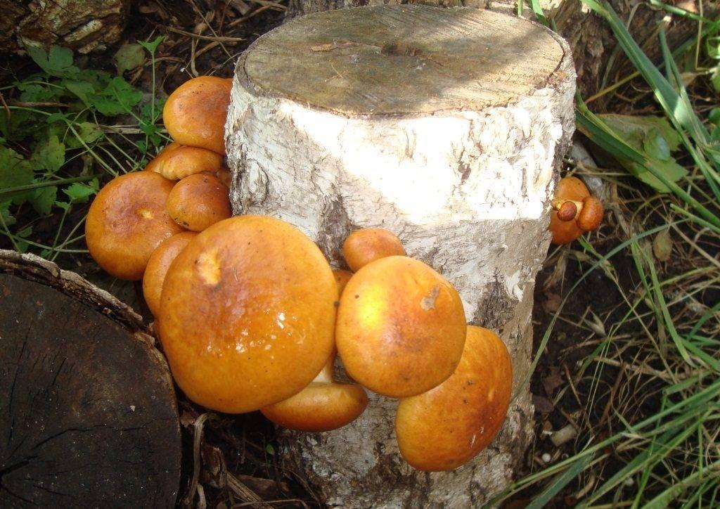 Пластинчатые грибы: съедобные с фото и названиями