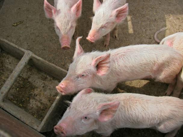 Чем кормить свиней: технологии откорма свиней на мясо