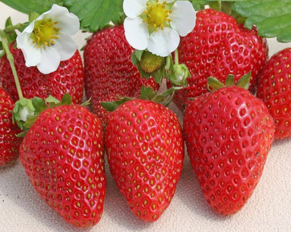 Сорта клубники для круглогодичного выращивания