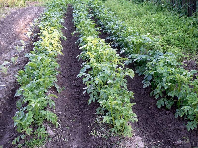Перец: выращивание и уход в теплице и в открытом грунте