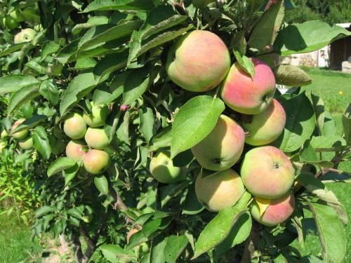 Как обрезать колоновидную яблоню осенью и весной