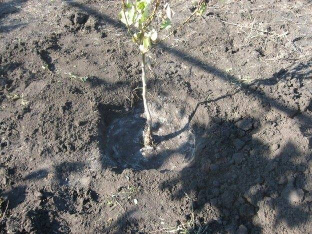 Правила и рекомендации посадки саженцев груши весной