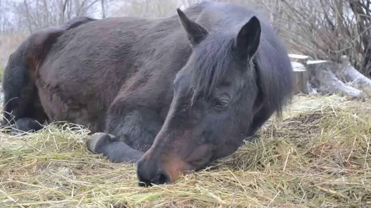 Правда ли что лошади спят стоя. как спят лошади: стоя или лежа